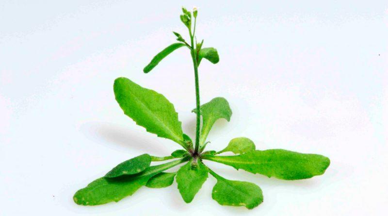 Descubren que las plantas poseen memoria a corto plazo de la temperatura