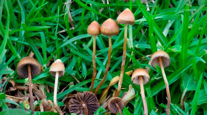 Un fármaco obtenido de hongos alucinógenos demostró ser útil en casos de depresión