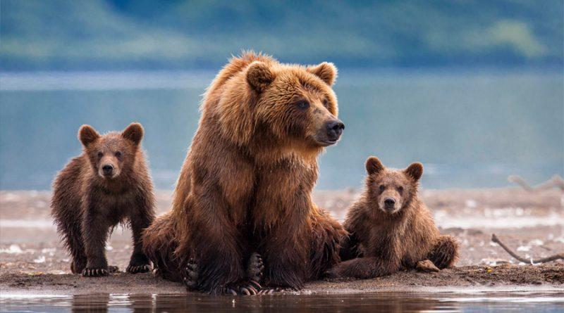 Tecnología de reconocimiento facial para preservar al oso grizzly