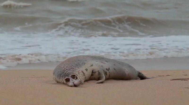 Cerca de 300 focas muertas son halladas en playas del Mar Caspio
