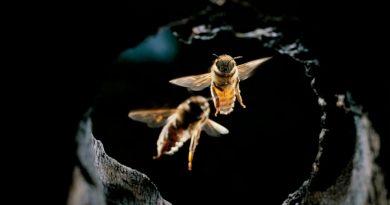 Descubren que las abejas utilizan herramientas para rechazar los ataques de los avispones