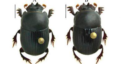 Nuevo escarabajo miniatura fue descubierto para la ciencia en Colombia