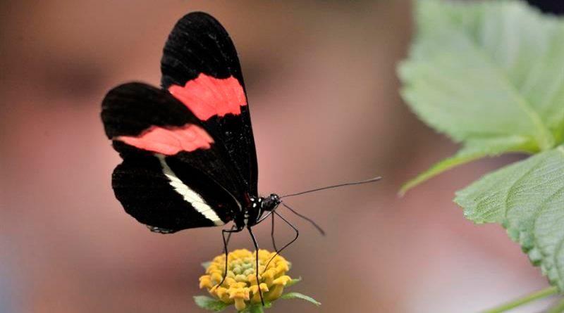 Descubren por qué cambian los colores de las mariposa