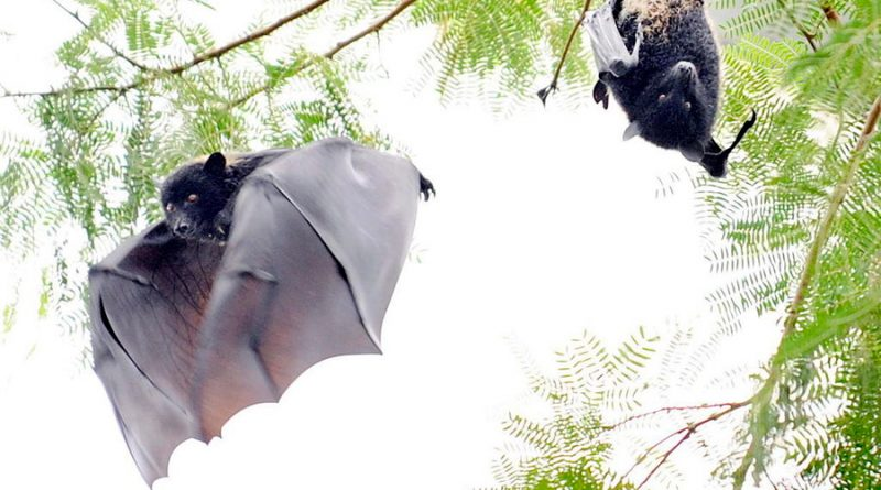 Murciélagos dan pistas para prevenir la próxima pandemia