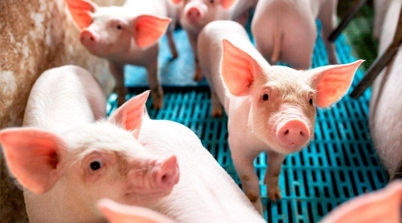 "Carne de cerdos transgénicos es ""segura para comer"", según la FDA de EU"