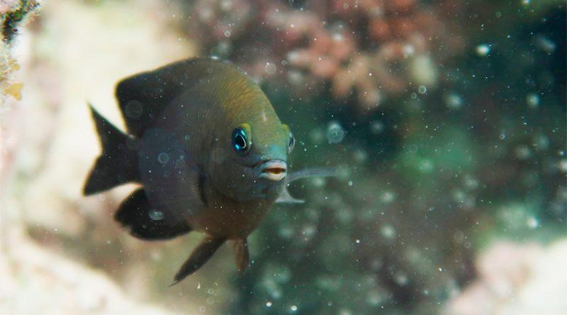La domesticación animal no es solo humana: hay peces que doman camarones