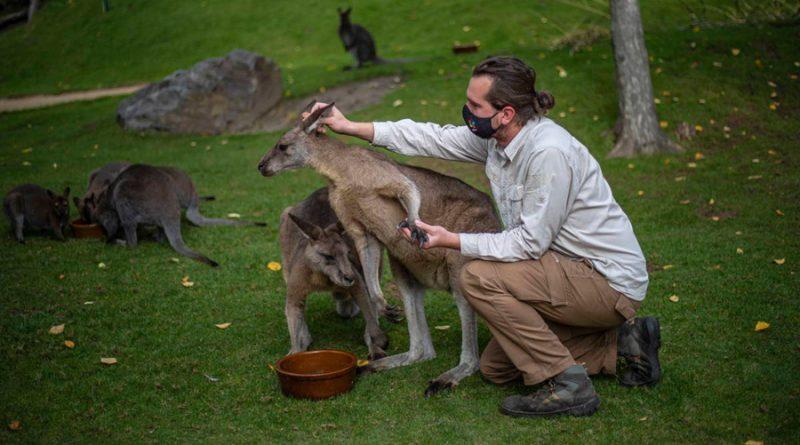 Descubren que los canguros son capaces de comunicarse con las personas