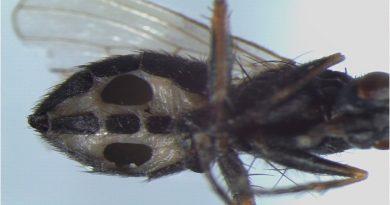 """Descubren hongos que infectan moscas y las convierten en """"zombies"""" hasta devorarlas"""