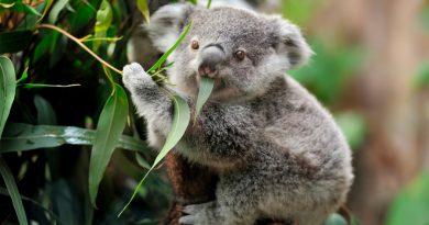 """Australia declara """"funcionalmente extinto"""" al koala; se estiman solo quedan 80 mil ejemplares en el país"""