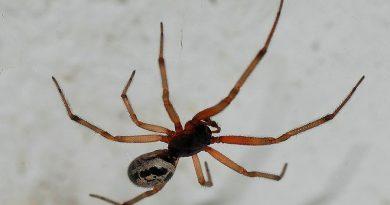 Si te pica esta terrorifica araña de las Islas Canarias te puede inyectar cosas peores que el veneno