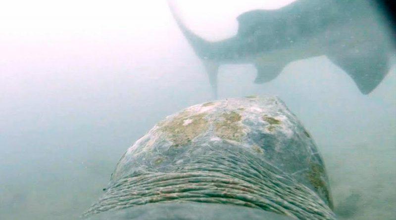 Capturan por primera vez el momento en que una tortuga se defiende del ataque de un tiburón tigre