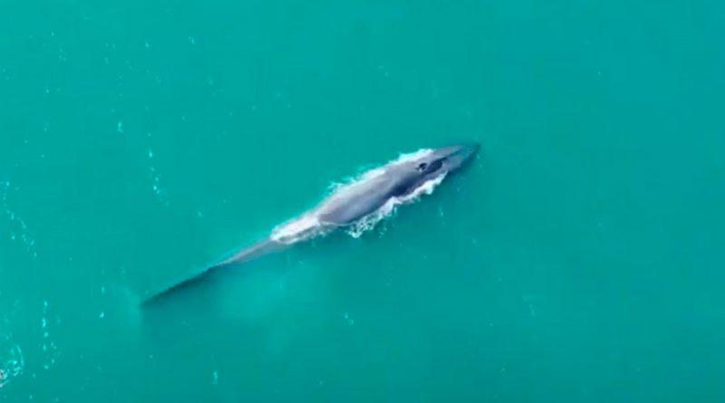 Nueva población de ballena azul descubierta en el Índico Occidental