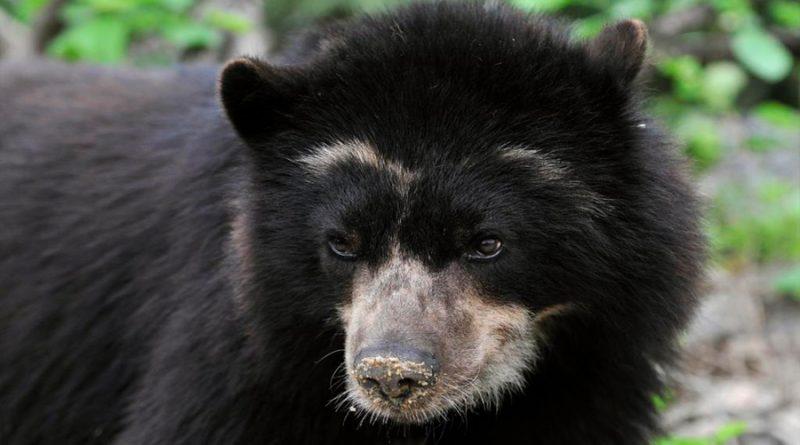 Hallan osos andinos, especie en extinción, en Ecuador