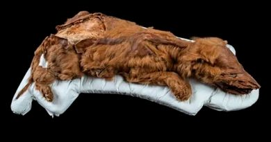 Hallan una cría de loba congelada durante 57 mil años en permafrost del Yukón