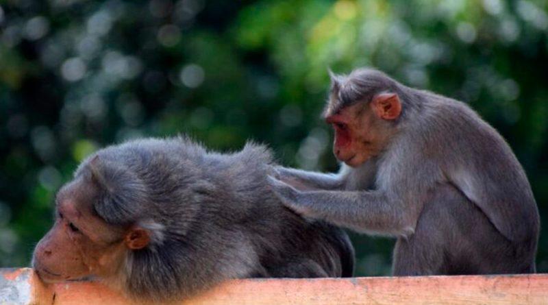 Los monos también creen en los compromisos
