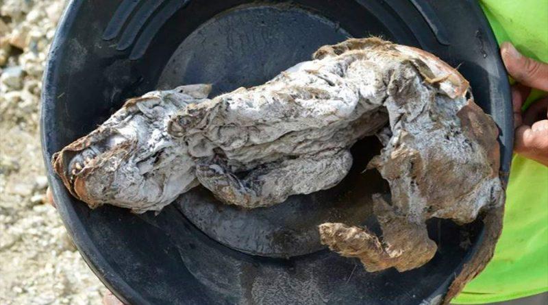 Hallan un lobezno de 57 mil años momificado en el permafrost