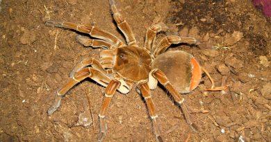 La araña más grande del mundo tiene una envergadura de hasta 28 centímetros