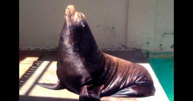 Fallece Sweeney, el lobo marino más longevo en México