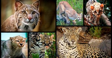 Conoce las seis especies de felinos que habitan en México
