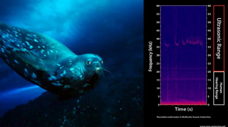 Las focas utilizan una especie de lenguaje bajo el agua que casi ninguna otra especie puede oír