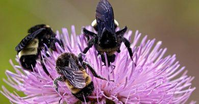 """Los abejorros más grandes saben """"fichar"""" a las mejores flores"""