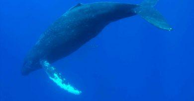 Científicos descubren el triste motivo por el que las ballenas han dejado de cantar