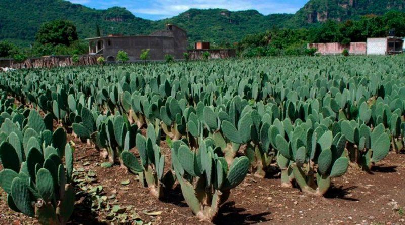 Investiga UNAM usos de baba de nopal en fármacos y cosméticos