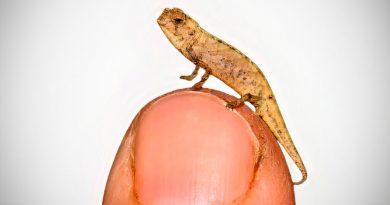 Descubren el camaleón más pequeño del mundo