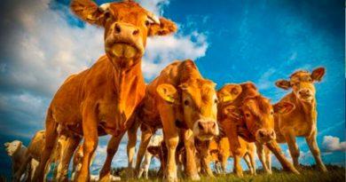 La carne orgánica emite tanto gas invernadero como la convencional