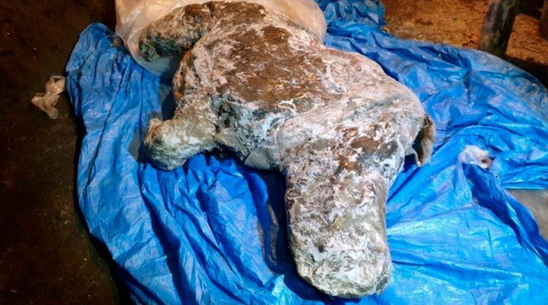 """Hallan en Rusia rinoceronte lanudo de la era glacial """"con órganos intactos"""""""