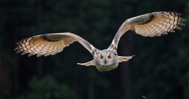 El vuelo sigiloso del búho puede reducir el ruido de los aviones