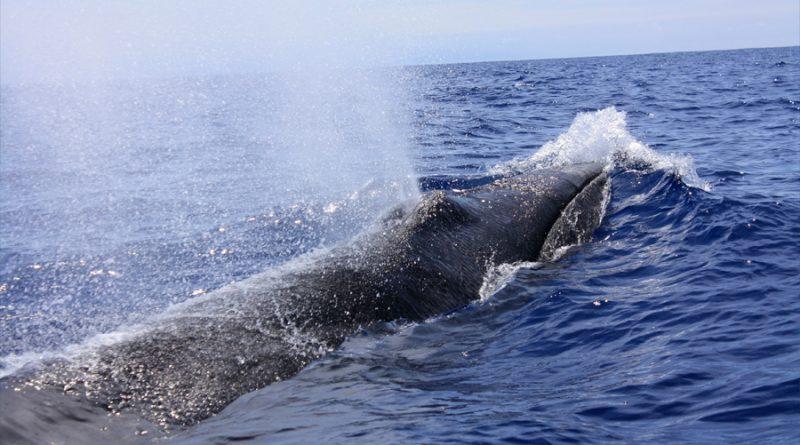 Poblaciones de ballenas se recuperan en las regiones polares gracias a la prohibición de caza