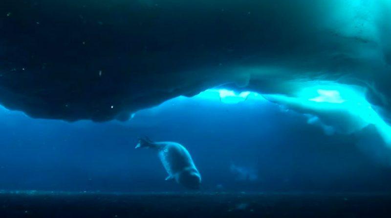 El mamífero más austral mantiene charlas ultrasónicas bajo el hielo
