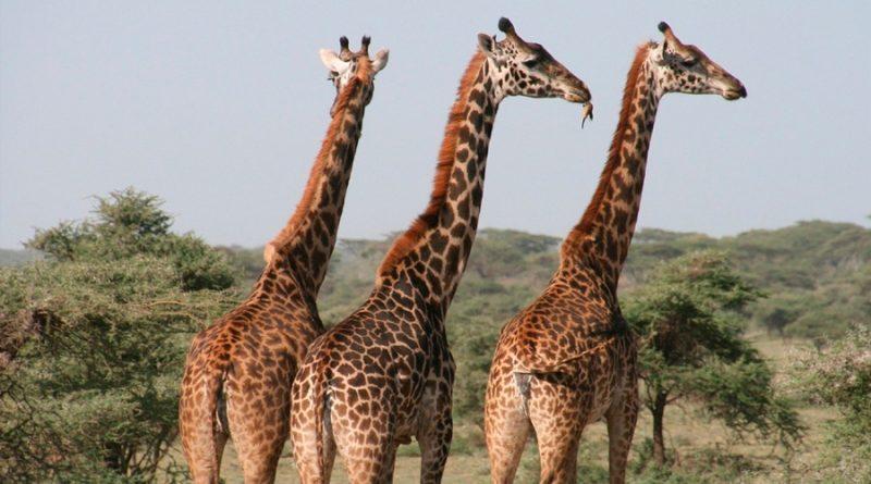 Científicos investigan a jirafas enanas y descubren la causa de su tamaño
