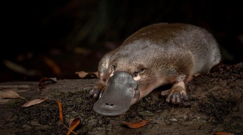 Ornitorrinco: un nuevo estudio revela los secretos del mamífero más raro del mundo