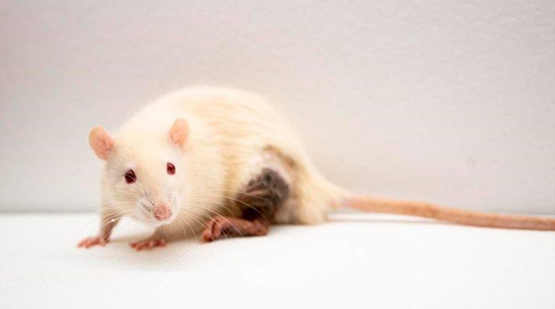 Logran tratar en ratones una enfermedad autoinmune similar a la esclerosis múltiple
