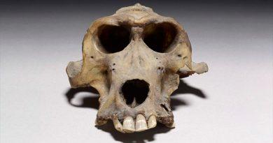 Dos cráneos de babuinos de hace 3,300 años revelan el lugar de origen de una misteriosa civilización