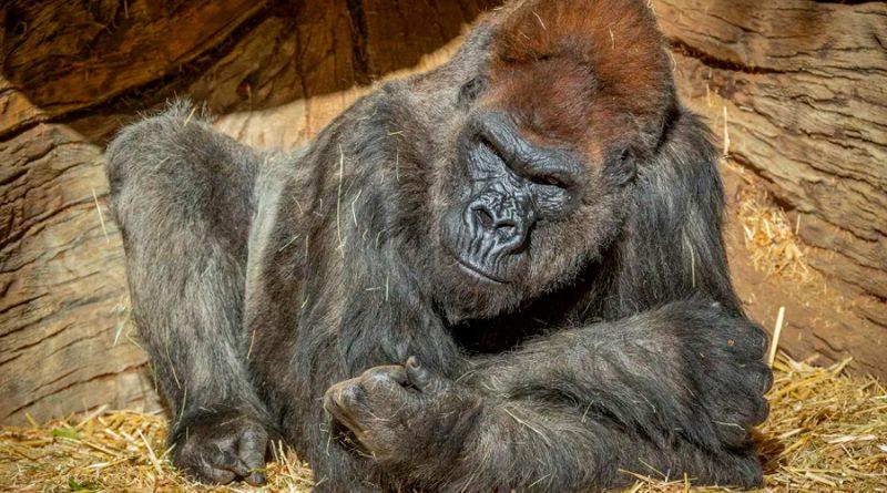 Dos gorilas en el zoológico de San Diego dan positivo por covid-19