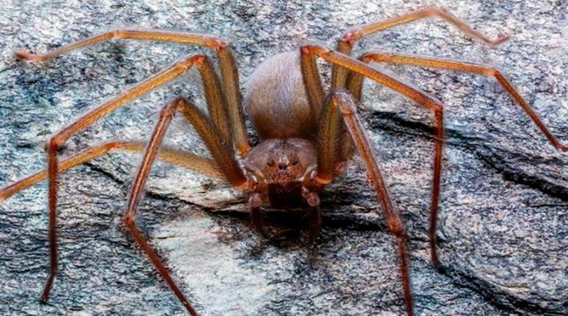Cómo identificar a la araña violinista del Valle de México y qué hacer si te muerde una