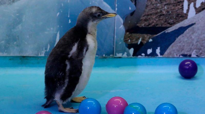 Alex, la primera cría de pingüino antártico nacida en México