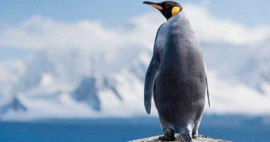 El misterio de los pingüinos solitarios: cómo han llegado a Isla Martillo y qué hacen ahí