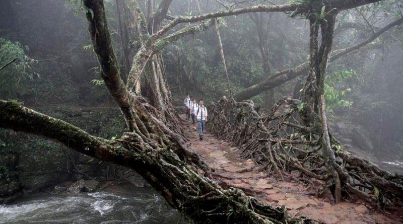Una tribu india construye puentes vivientes que tardan 30 años en llegar a la otra orilla, pero viven 500 años