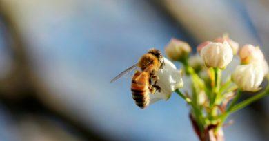 Descubren cómo los insectos voladores toman decisiones rápidas y eficientes
