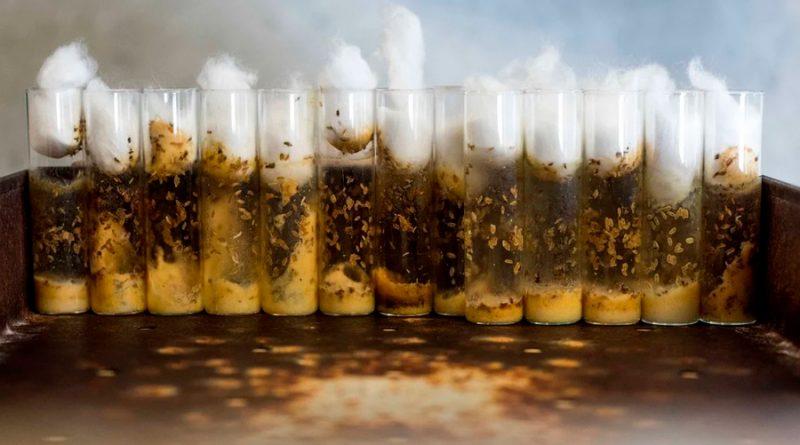 Las moscas de la fruta, un impensado recurso esencial para la ciencia