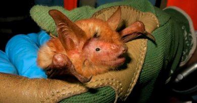 Científicos descubren un fascinante murciélago naranja