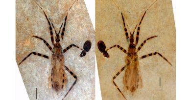 Hallado un insecto asesino fósil con genitales bien preservados