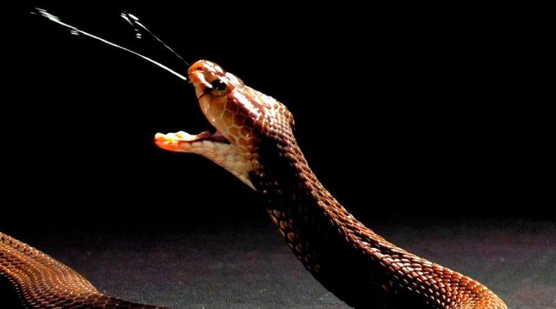 El veneno de las cobras escupidoras evolucionó para cumplir una función defensiva