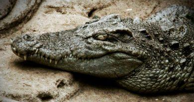 Avistan en Tailandia a un cocodrilo de Siam, especie casi extinta