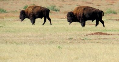 Recupera bisonte americano territorio en norte de México