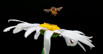 Descubren nueva especie de abeja solitaria y polinizadora en Brasil